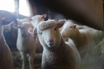 屬羊者-害太歲-如何逢凶化吉